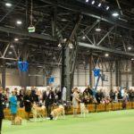 niebieskie-balonowe-cyfry-zwisły-nad-głowami-uczestników-wystawy-psów-rasowych